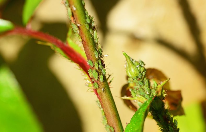 bladluis bestrijden